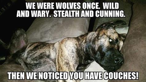 Great Dane Meme - 12 best great dane memes of all time