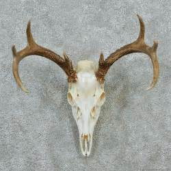 Whitetail skull amp antlers taxidermy european mount 12876 for sale
