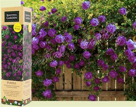 Climbing Plant With Fragrant Flowers - 1 spring purple fragrant climbing tannacht rose flower bare rooted