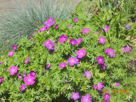 life from the back garden perennial geraniums