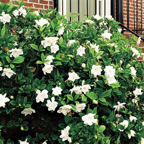 frost proof gardenia  sale   tree center