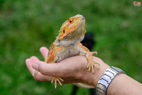 What Makes A Good Home 10 great reasons why reptiles make good pets pets4homes