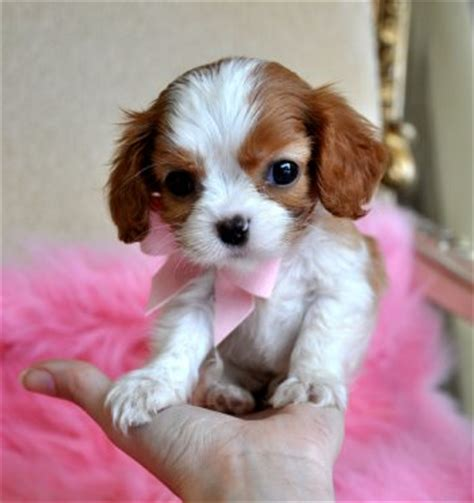 moving puppy tiny king charles spaniel puppy sold moving to panama city puppies for sale florida