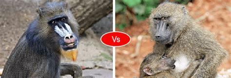mandrill  baboon fight   win   baboon mandrill animals
