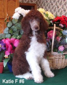 parti poodle lifespan standard parti poodle puppies and white brindles and