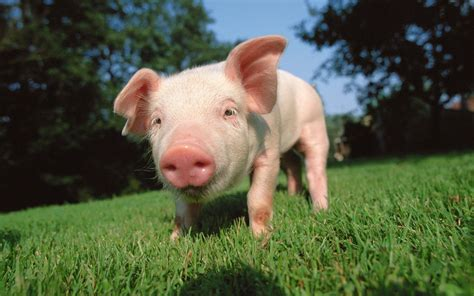 pig background pig wallpapers wallpaper cave
