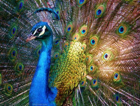 beautiful peacock photo  andrew eisnor