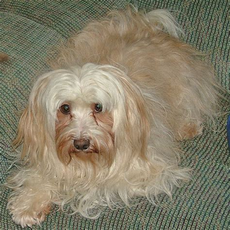gold havanese gold colored pictures of havanese dogs pictures to pin on pinsdaddy