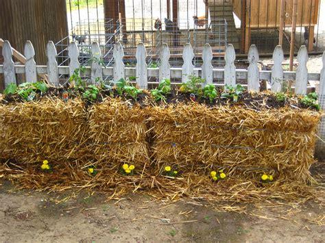 Gardening In Straw Bales by Straw Bale Gardening Buen Viaje
