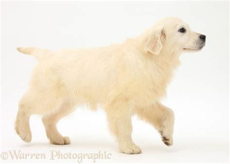 golden retriever walking golden retriever pup photo wp38136
