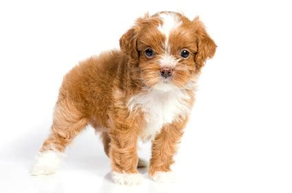traits of havanese dogs havanese dogs information pictures and breeders