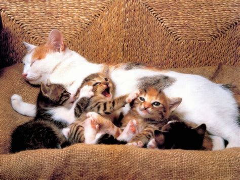 Litter Of Kitties by Litter Of Kittens With Cats Wallpaper