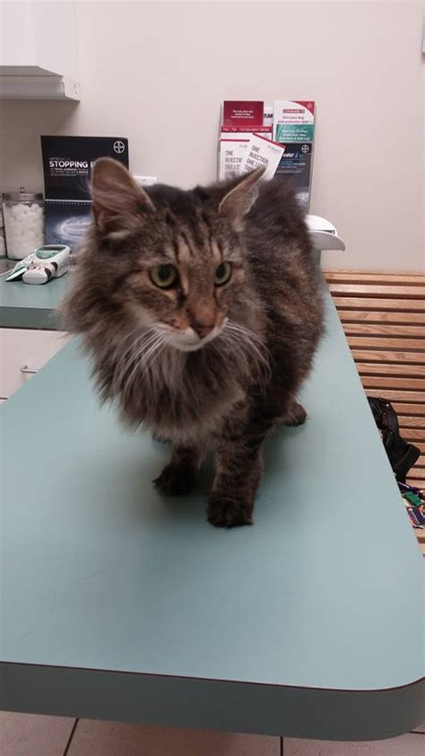 only maine coons rescue petfinder foundation