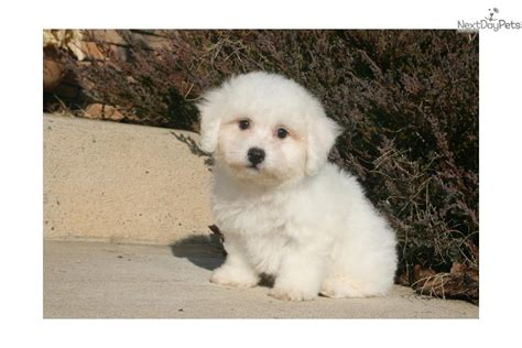 bichon frise puppies for sale craigslist baby white bichon frise puppies for sale bahrain images frompo
