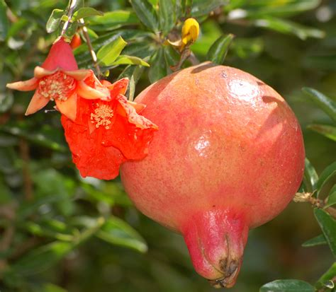 fruit flower car news and new cars health benefits of pomegranate