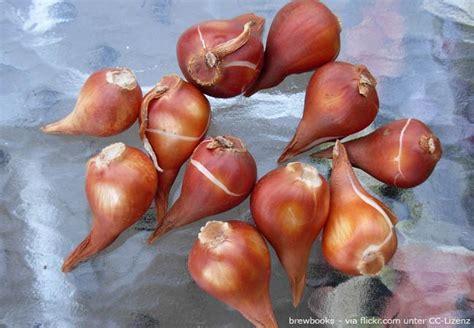 blumenzwiebeln pflanzen zeitpunkt blumenzwiebeln pflanzen zeitpunkt standort und