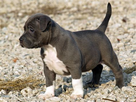 Tips for socializing and training your pitbull puppy gt puppy toob