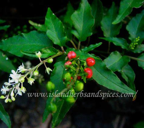 puppy blood blood bush rivina humilis island herbs spices
