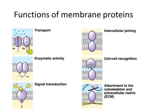 7 protein functions membrane structure and function ppt