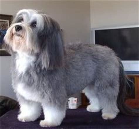 havanese haircut styles 25 best ideas about havanese grooming on havanese puppies cockapoo