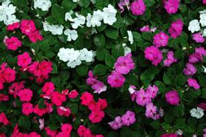 Annual Flowers That Like Full Sun - common perennial flowers landscapers talk local blog