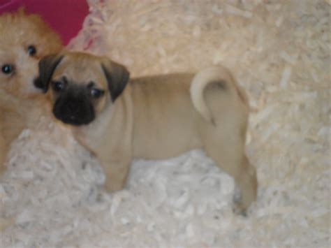 pugs for free uk pugs puppies for free car interior design