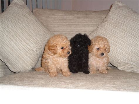 poodle puppies for sale in stunning poodle puppies for sale milton keynes buckinghamshire pets4homes