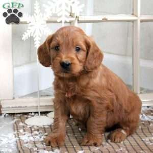 mini goldendoodles new brunswick miniature goldendoodle puppies for sale in pennsylvania