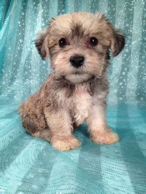 schnoodle puppies for sale schnoodle breeder iowa 2012 sept puppies for sale