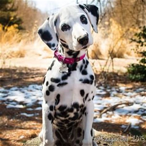 why are dalmatians dogs 17 best ideas about dalmatians on dalmatian puppies puppies and