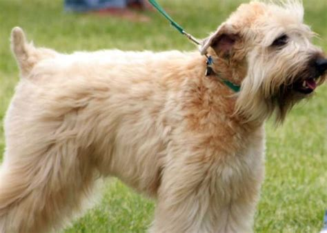 soft coated wheaten terrier puppy hypoallergenic dogs 28 dogs that don t shed