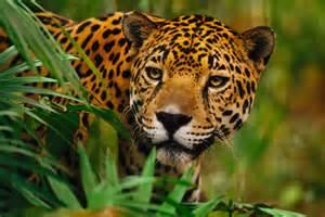 Al Jaguar Una Historia Con Causa Chilim Balam Salvando Al Jaguar