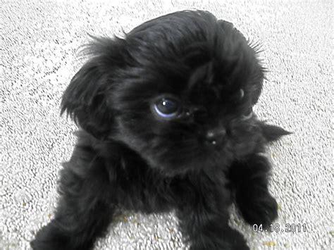 schipperke shih tzu mix chihuahua mix puppies