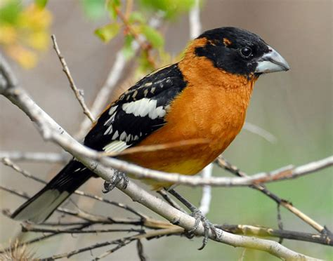 utah bird profile black headed grosbeak