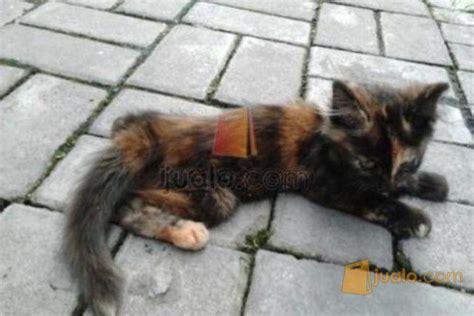 Anakan Arwana Murah anakan kucing medium betina murah surabaya tricolor sby