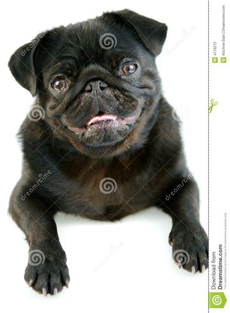 pug growth black pug stock photos image 4179273