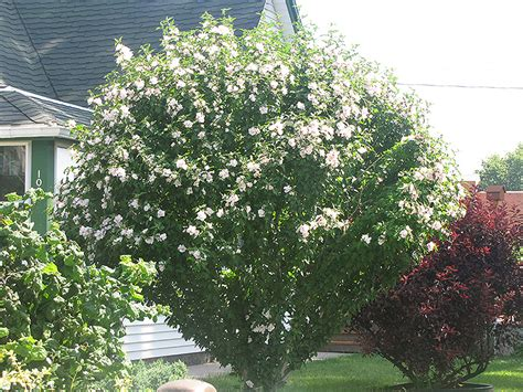 morning star rose  sharon hibiscus syriacus morning