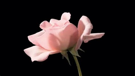 wallpaper gif flower picturesque image animated gif of a pink rose on a black