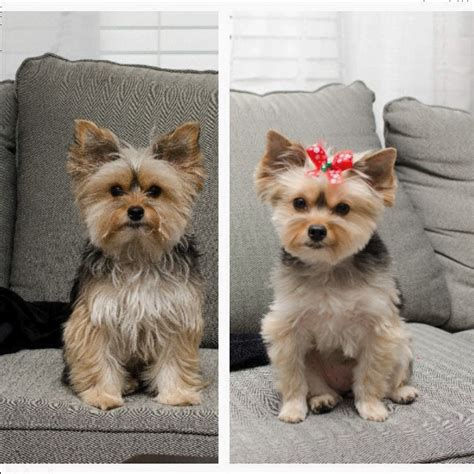 before and after pics of yorkie haircuts feather the yorkie feathertheyorkie instagram profile
