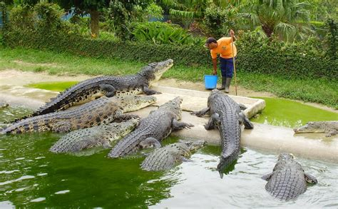 Start Your Own Crocodile Farm And Get A Big Bite Of The ...