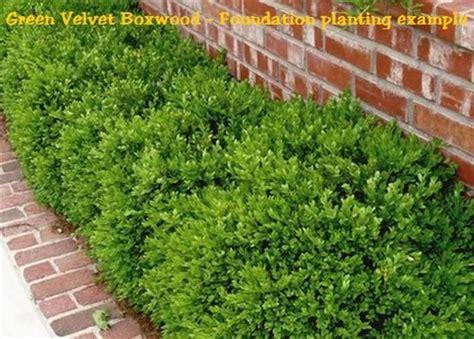 Hedge Planter Bag Small green velvet boxwood buxus