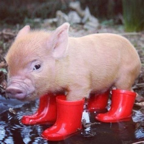 Cmon Ladiesbe Pigs by Uh Hello It S A Baby Pig Wearing Boots Want I