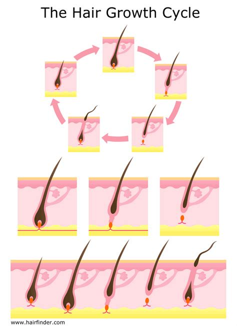 Shedding Phase Of The Hair Growth Cycle by The Three Stages Of The Human Hair Cycle