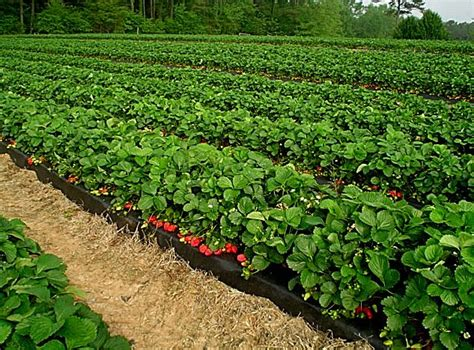 Bibit Tanaman Pohon Buah Strawberry 1 panduan lengkap budidaya tanaman buah strawberry mediatani