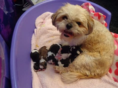 shih tzu for sale shih tzu puppies for sale yeovil somerset pets4homes