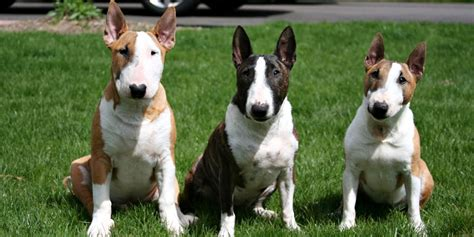 bull terrier puppies price miniature bull terrier information characteristics facts names
