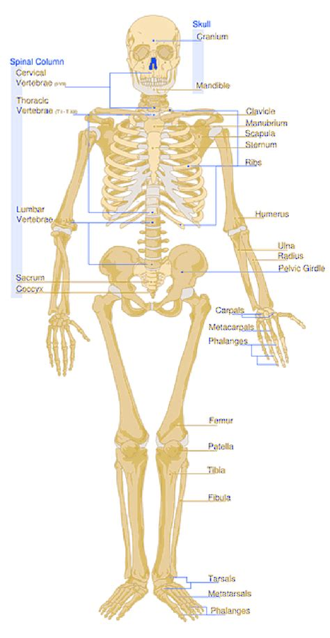 diagram of human basic human parts diagram