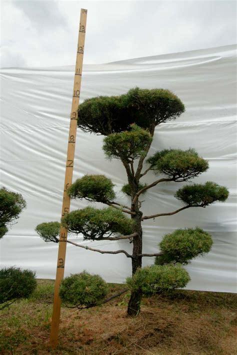 scotch pine topiary 187 scotch pine topiary tree 43 plants beautiful nursery