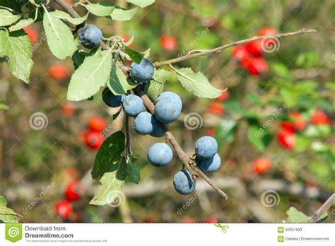 blaue und rote küche blaue schlehen und rote schlehen stockfoto bild 60351993