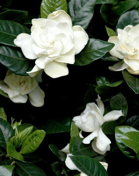 Gardenia And Gard 233 Nia Planter Et Entretenir Ooreka